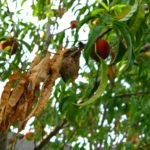 Withered Leaves and Fruit Beginning to Rot