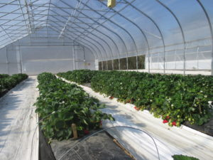 Figure 1. Strawberries grown inside a high tunnel at Southwest Purdue Agricultural Center. Photo was taken on April 16 2016.