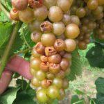 Traminette grape
