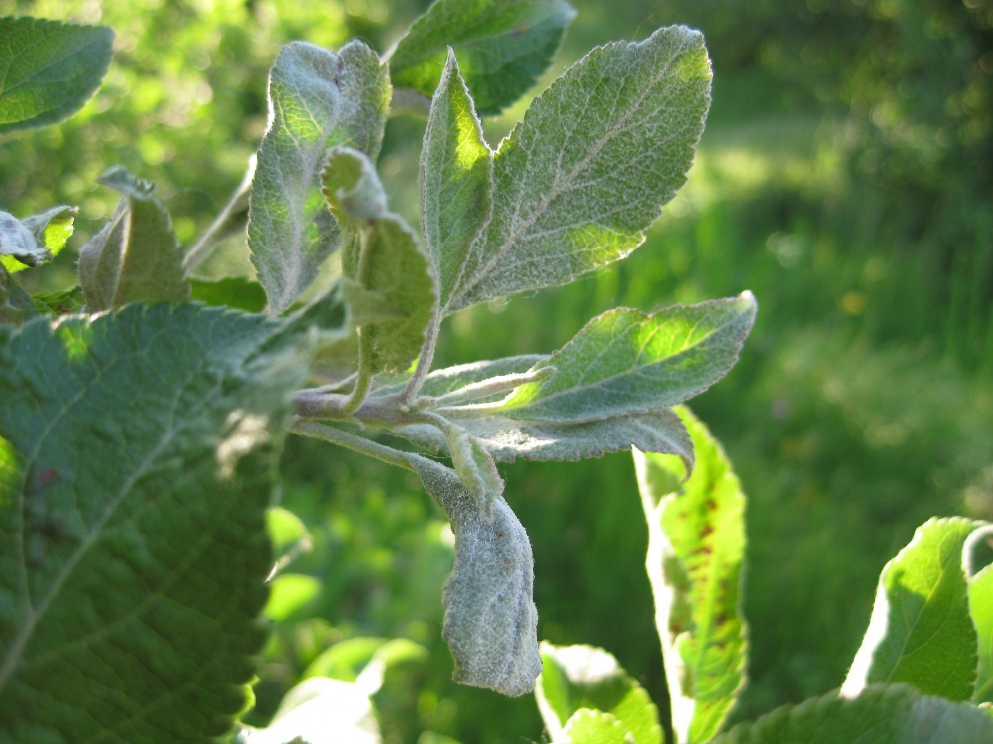 Powdery Mildew Apple Diseases