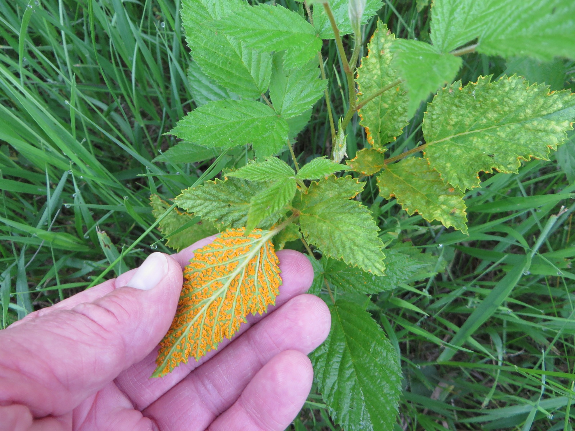 Wild Blackberry Leaves Orange rust in ...