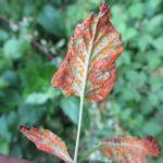 leaf with orange spores