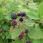 Primocane fruiting blackberry harvest continues-delicious!