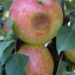 Apple Disease