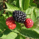 Blackberry harvest continues. Unripe fruit may run out of growing season before they ripen.