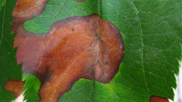 Glomerella Leaf Blight