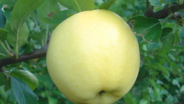 PristineTM Apple