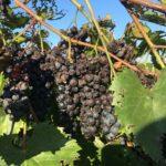 rotting grapes