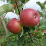Apple: Pixie Crunch are developing good color