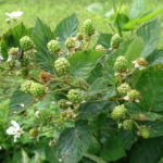 Blackberry (primocane): fruit developing well despite severe Japanese beetle damage
