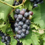 Grape: Full veraison on most varieties
