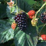 pf fruit