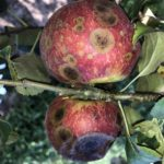 Apple Honeycrisp bitter rot sporulating