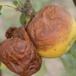 Apple white rot