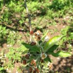Apple Phytotoxicity Flint Regulaid blossom burn.