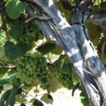 Grapes are approaching maturity
