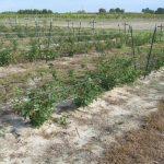 Figure 1. 'Navaho' blackberries grown as part of a weed-free strip width research trial in Jackson Springs, North Carolina.