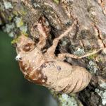 Figure 1 Periodical cicada nymph (cast 'skin'). Photo: John Obermeyer