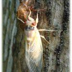Figure 3 A newly emerged adult periodical cicada, before its exoskeleton has hardened and darkened. Photo: Jane Chandler