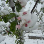 Apple flowers covered in snow on 4/20/21. Photo: Tristand Tucker
