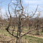 Figure 2. In 2021, the mild winter and cool spring resulted in asynchronous phenology of many apple trees at Meigs. This image was taken 4/6/2021. Note the variation from silver to tight cluster.