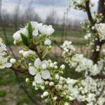 Plum: early bloom