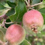 Apple: fruit 15-20 mm