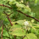 Black raspberry: Pre-bloom