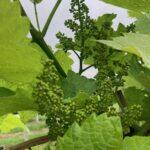Grape: Pre-bloom
