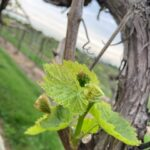 Grape: prior to bloom