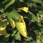 Figure 2. Frogeye can cause chlorosis and defoliation.