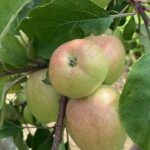 Apple: fruit sizing but crops tend to be bunchy