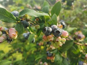 Figure 1. Mature and ripening Blueray berries at a blueberry orchard in Tippecanoe County on July 9th. Photo: Zihan Hong.
