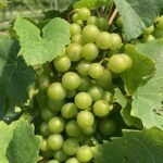 Grape: Harvest approaching