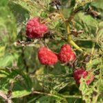 Red raspberry: Harvest underway