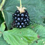 Black raspberry- harvest continuing