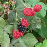 Blackberry- harvest continuing