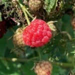 Red Raspberry- harvest continues