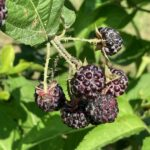 Black Raspberry- harvest continues
