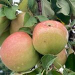 Apple- early cultivars are ripening but tending to be bunchy