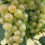 Grape- harvest of early cultivars beginning